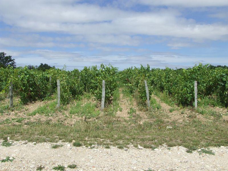 Les vignes2