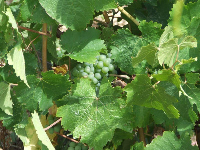 Les vignes1